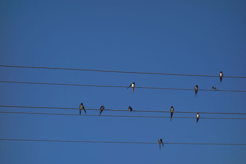 Nine Birds on Electric Wire
