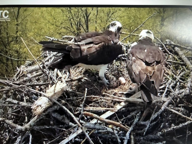 Vigilance is Key to Co-existing with Nesting Osprey